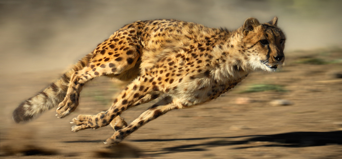 cheetah-flickr-photosbyflick